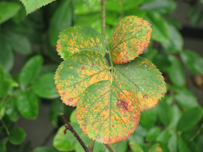 «10 распространенных болезней роз» фото - 5867623319 17ca8c6f00 b 800x600