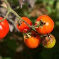 «Фитофтора на помидорах - описание, борьба с ней, профилактика» фото - 5881c4 120x120