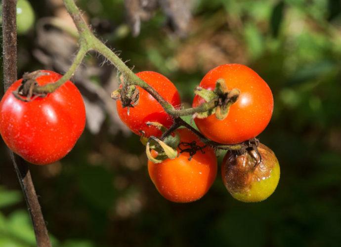 «Фитофтора на помидорах - описание, борьба с ней, профилактика» фото - 5881c4 690x500