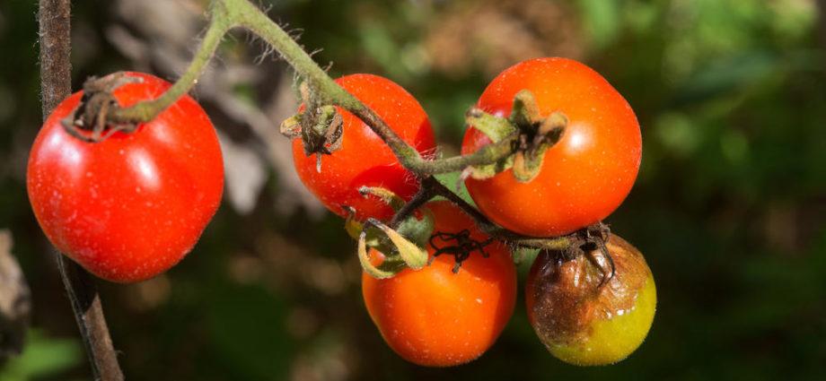 «Фитофтора на помидорах - описание, борьба с ней, профилактика» фото - 5881c4 920x425