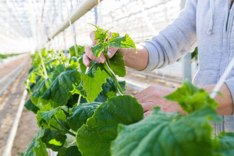 «Выращивание огурцов в теплице из поликарбоната» фото - Growing cucumbers in a greenhouse 800x534