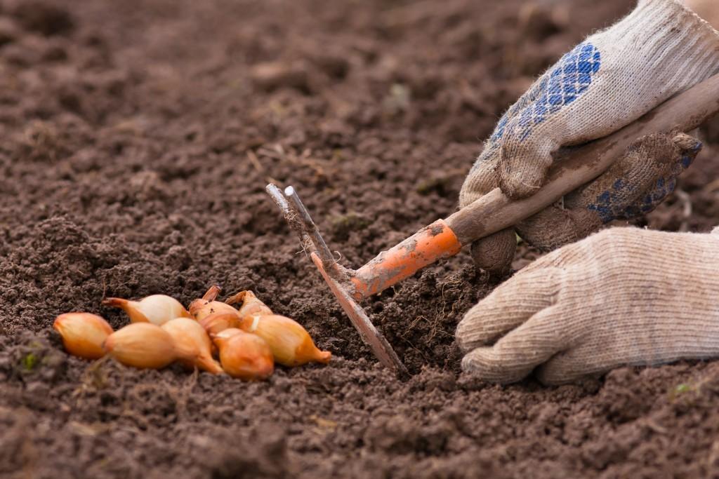 «Посадка лука севка - уход и выращивание» фото - Sroki posadki luka osenju51