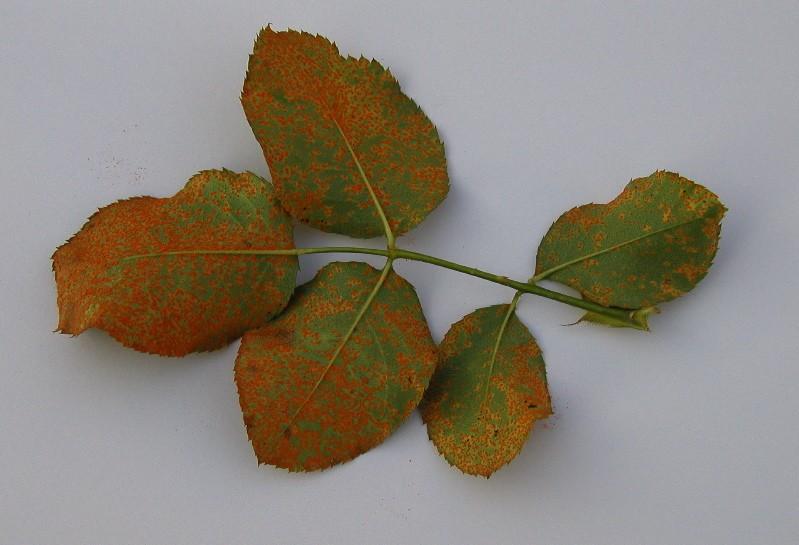 «10 распространенных болезней роз» фото - cupicnu2eb3f