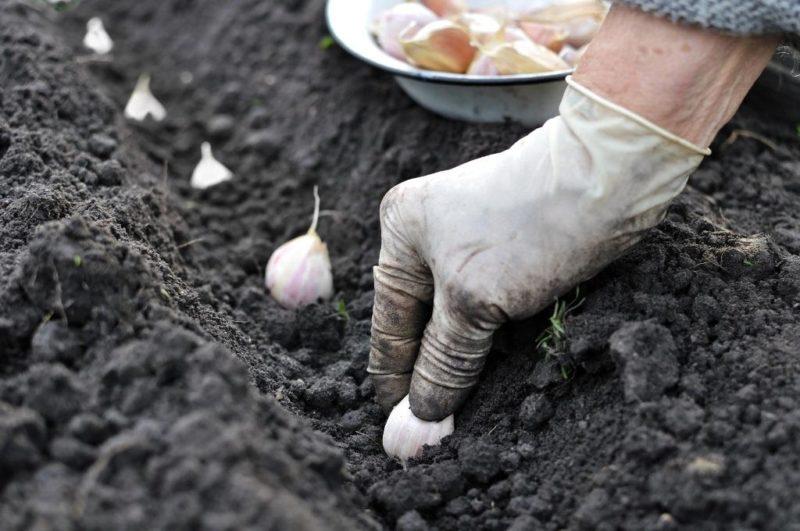 «Озимый чеснок - описание, выращивание и хранение» фото - get img 800x531