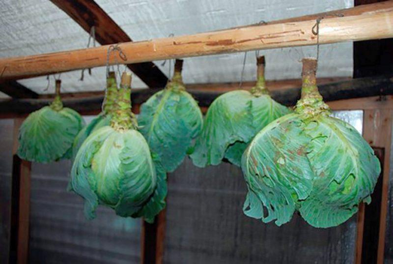 «Как хранить капусту в домашний условиях зимой?» фото - hranenie kapusty 800x537