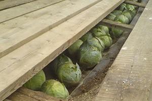 «Как хранить капусту в домашний условиях зимой?» фото - kapusta v transhee