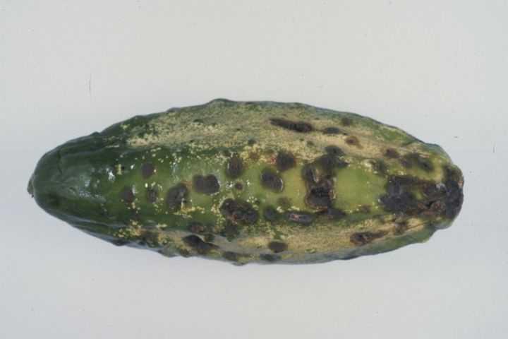 «Распространенные болезни огурцов в теплице» фото - kladosporioz ogurtsa