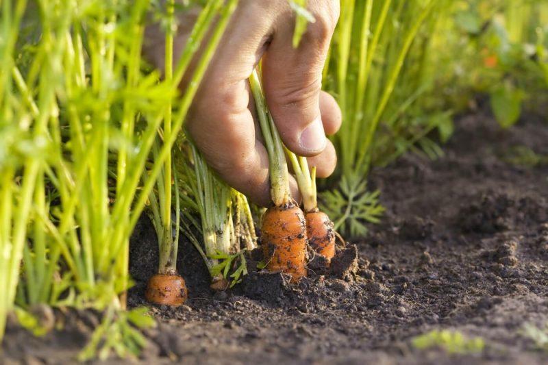 «Когда сажать морковь под зиму?» фото - morkov posadka i uhod osen yu 51 800x533