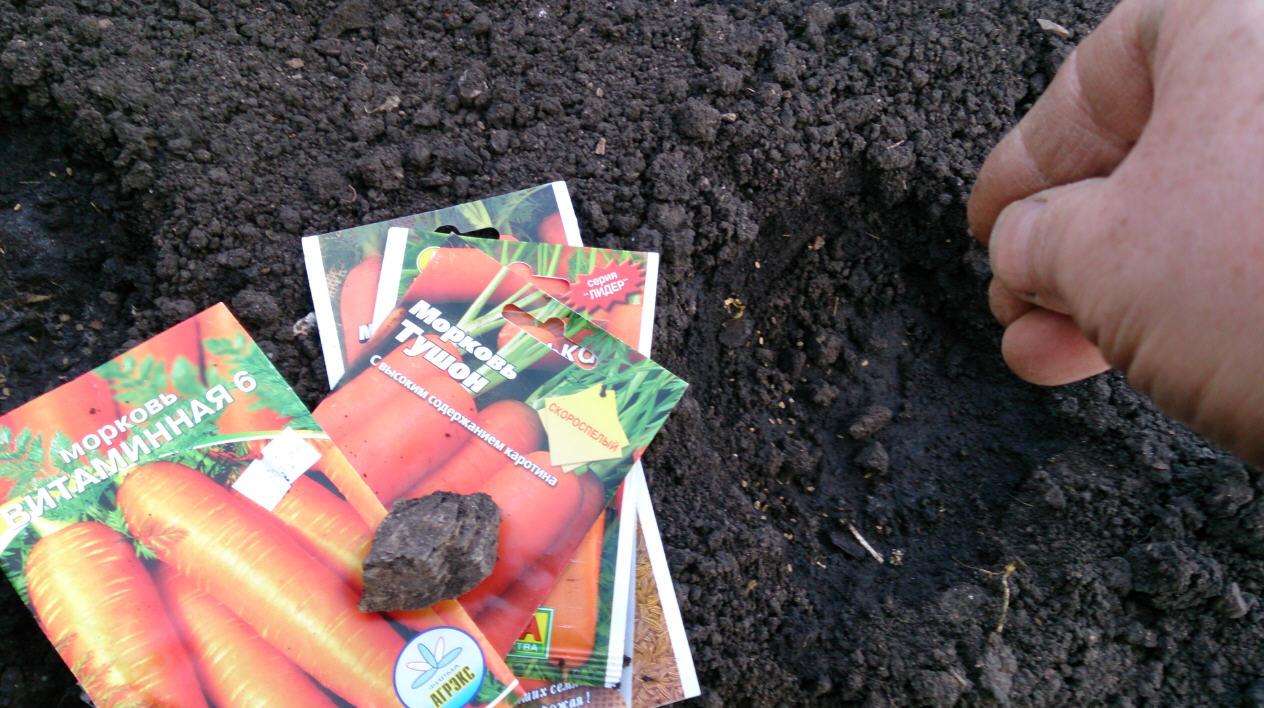 «Когда сажать морковь под зиму?» фото - morkov1