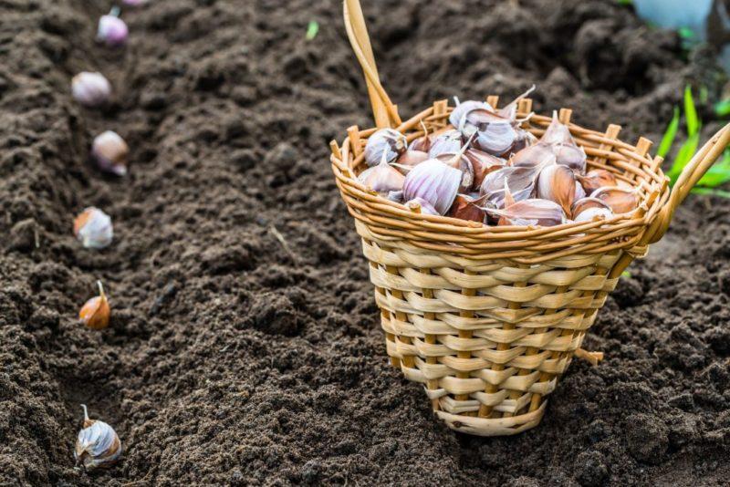 «Можно ли сажать чеснок после лука?» фото - posadka v leningradskoj oblasti 800x534