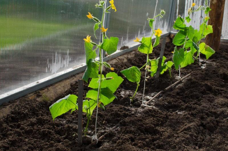 «Выращивание огурцов в теплице из поликарбоната» фото - pravilno posazhennye ogurcy 800x530
