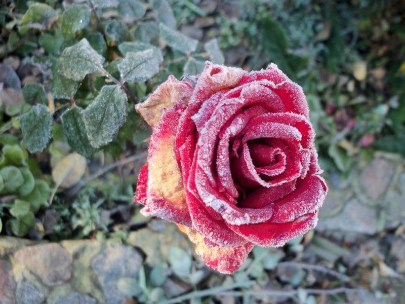 «10 распространенных болезней роз» фото - small250d1ccb 800x600