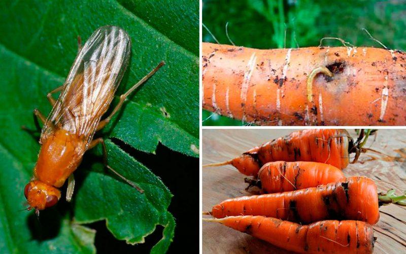 «Вредитель морковная муха» фото - 1 4 800x501