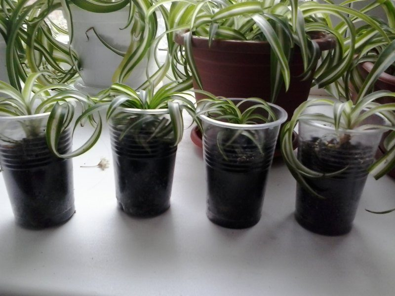 «Хлорофитум - описание и выращивание» фото - 56289c095413ff2a34600b1d 2 800x600