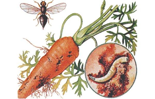 «Вредитель морковная муха» фото - 8de76778d311fae01313f667a8f8f3cf