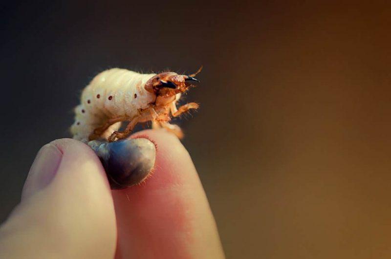 «Личинка майского жука» фото - Lichinki majskogo zhuka 2 800x531