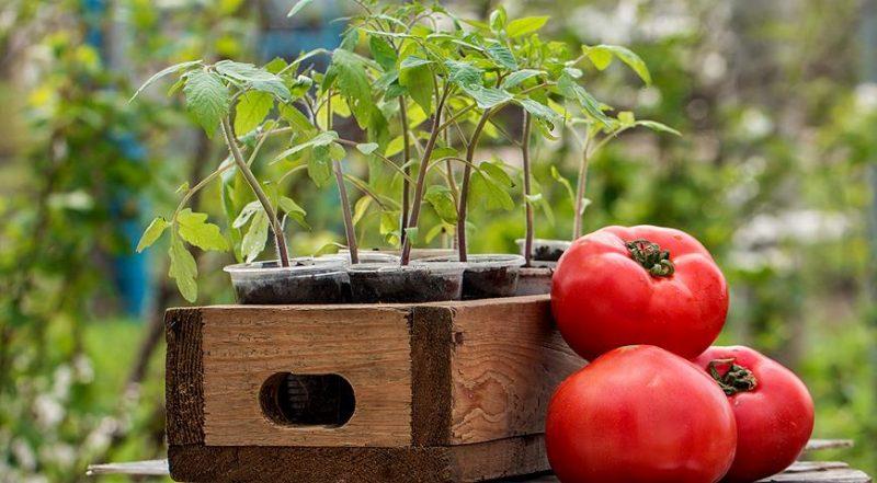 «Как правильно сажать рассаду помидор дома» фото - Posadochnye dni dlya tomatov v marte 2018 goda kogda seyat na rassadu   teplichnye sovety 1 800x441