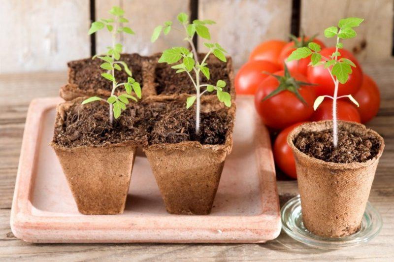 «Как правильно сажать рассаду помидор дома» фото - Rassada pomidor 50 800x532