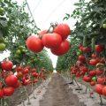 «Выращивание томатов в теплице из поликарбоната» фото - d9e6e85ab95e29fa545a69a2df858a09 120x120