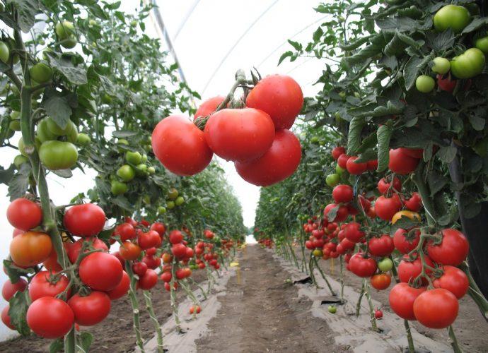 «Выращивание томатов в теплице из поликарбоната» фото - d9e6e85ab95e29fa545a69a2df858a09 690x500