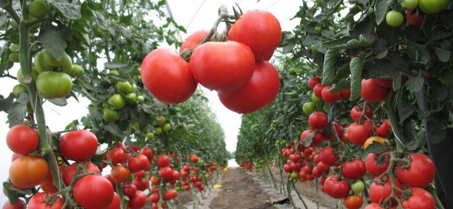 «Выращивание томатов в теплице из поликарбоната» фото - d9e6e85ab95e29fa545a69a2df858a09 920x425