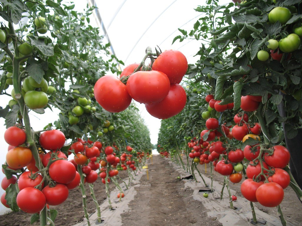 «Выращивание томатов в теплице из поликарбоната» фото - d9e6e85ab95e29fa545a69a2df858a09