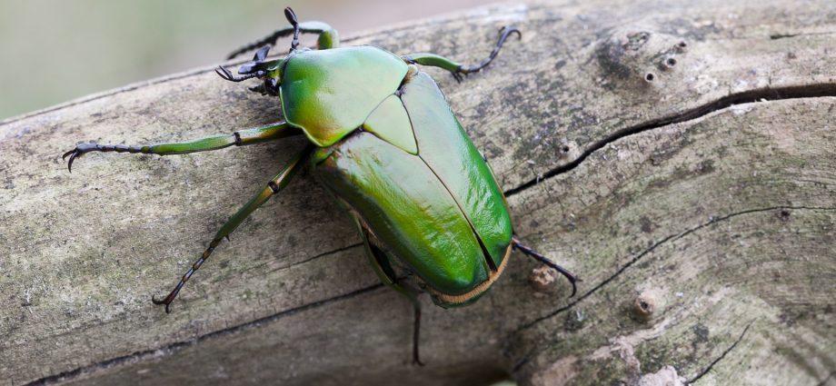 «Личинка майского жука» фото - dicronorrhina micans 920x425
