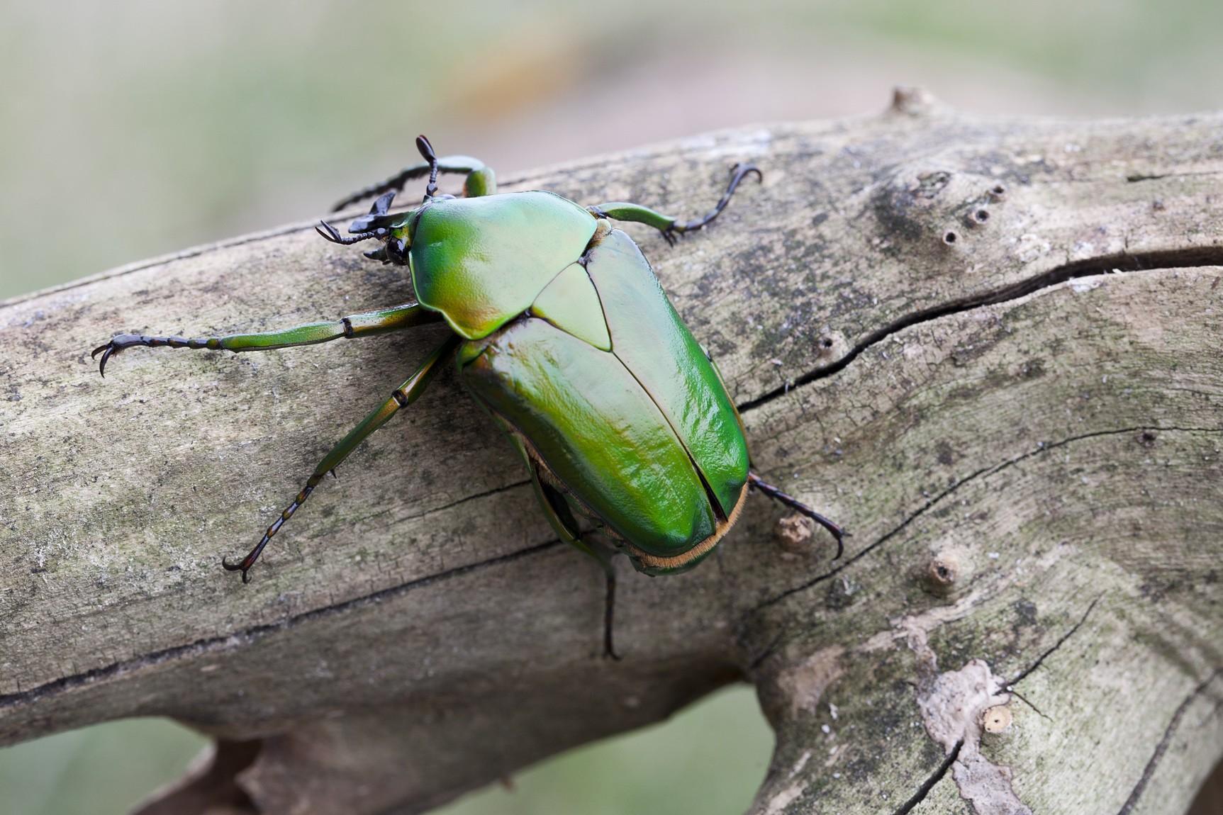 «Личинка майского жука» фото - dicronorrhina micans