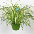 «Хлорофитум - описание и выращивание» фото - hires 36174 120x120