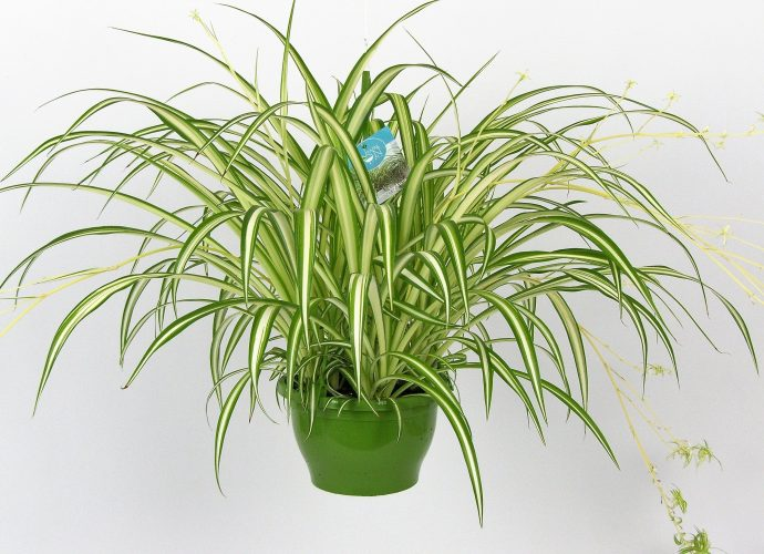 «Хлорофитум - описание и выращивание» фото - hires 36174 690x500