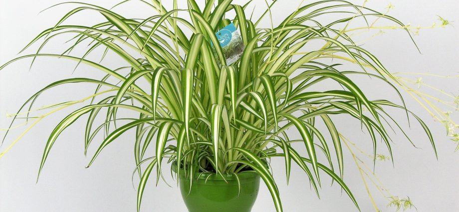 «Хлорофитум - описание и выращивание» фото - hires 36174 920x425