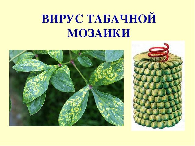 «Вирус табачной мозаики» фото - img14