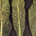 «Вирус табачной мозаики» фото - img3 120x120