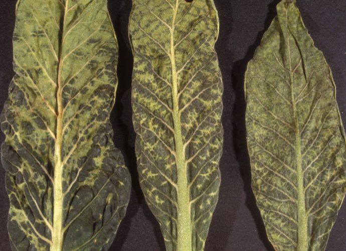«Вирус табачной мозаики» фото - img3 690x500