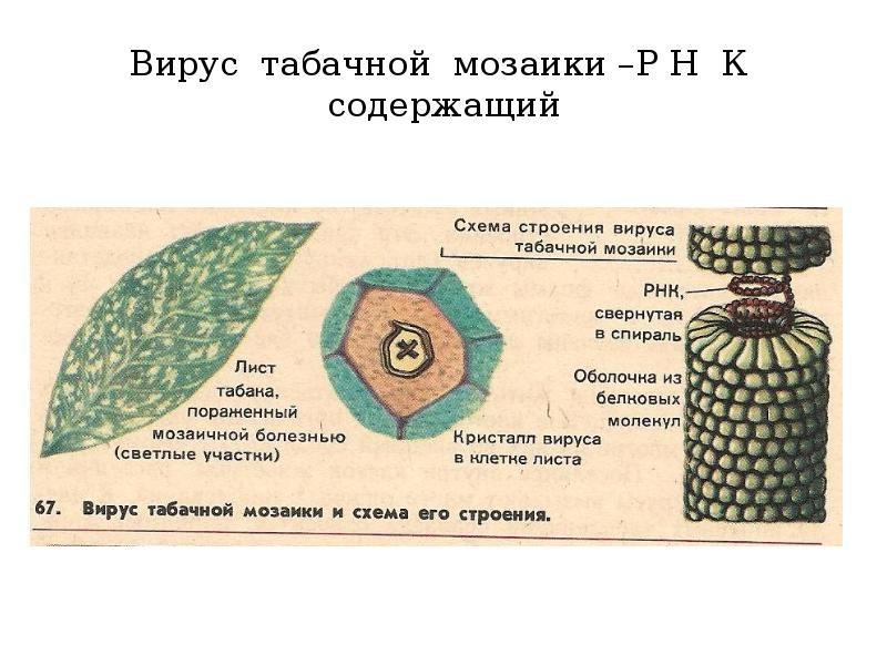 «Вирус табачной мозаики» фото - img6 800x600
