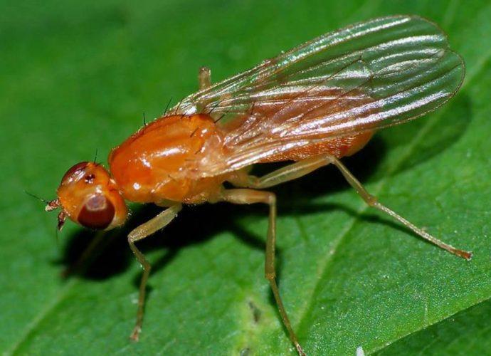 «Вредитель морковная муха» фото - morkovnaya muha 01 690x500