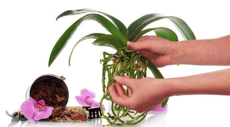 «Янтарная кислота для орхидей» фото - post 5829b757d1f80 800x441