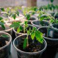 «Когда сажать баклажаны на рассаду?» фото - rassada pomidor 1 120x120
