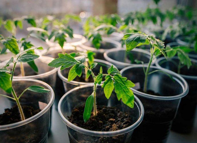 «Как правильно сажать рассаду помидор дома» фото - rassada pomidor 1 690x500
