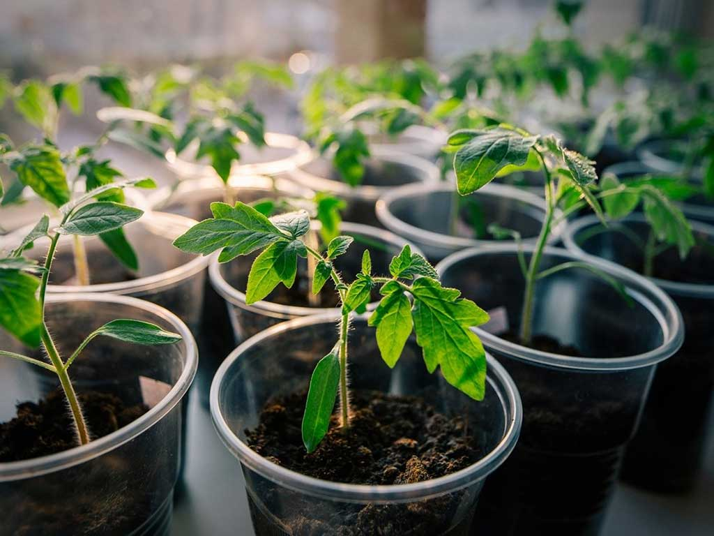 «Как правильно сажать рассаду помидор дома» фото - rassada pomidor 1