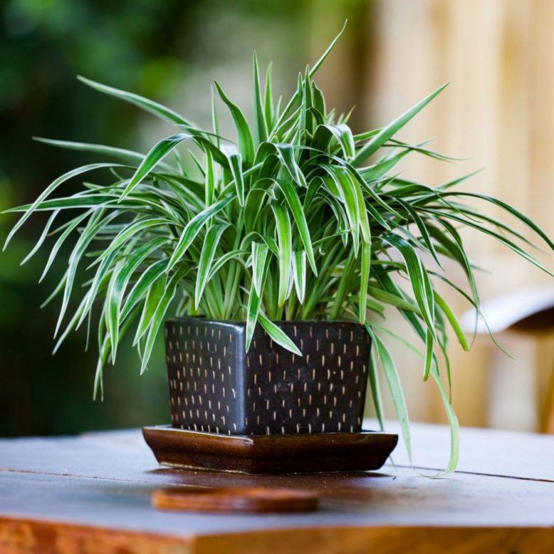 «Хлорофитум - описание и выращивание» фото - thumbnail 1024x1024 800x800