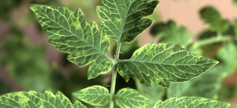 «Вирус табачной мозаики» фото - tomat bolezni 6 800x366