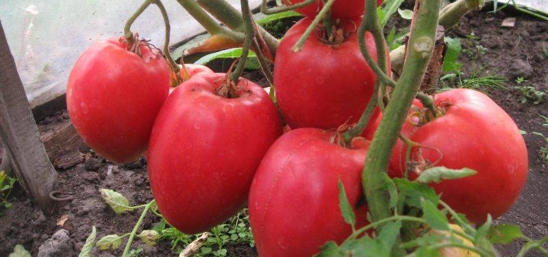 «Выращивание томатов в теплице из поликарбоната» фото - tomat Bolshaya mamochka 32 15172619 800x375