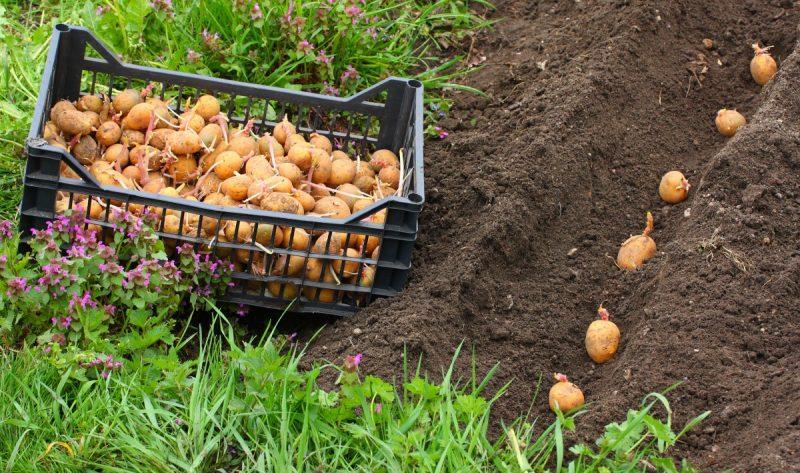 «Удобрение для картофеля при посадке в лунку» фото - 12 3 800x473