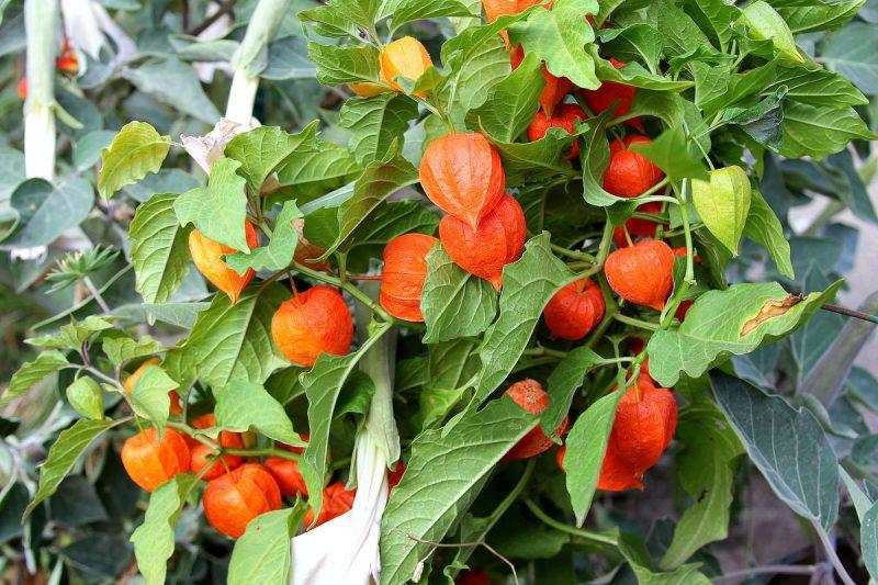 «Физалис - описание, полезные свойства, выращивание» фото - 2157910 800x533