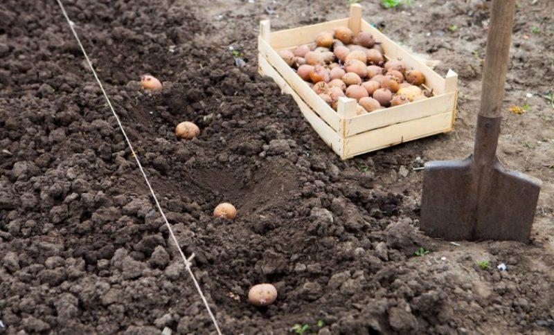 «Удобрение для картофеля при посадке в лунку» фото - 32832.piwi3o.840 800x484