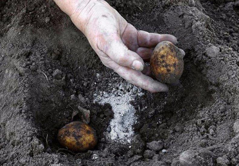 «Удобрение для картофеля при посадке в лунку» фото - 35451.orhnzo.790