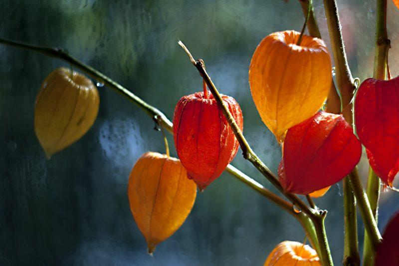 «Физалис - описание, полезные свойства, выращивание» фото - 867287 800x533