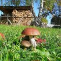 «Сколько и как правильно нужно сушить грибы?» фото - bs gribi doma virachivanie 1 e1506687701681 120x120