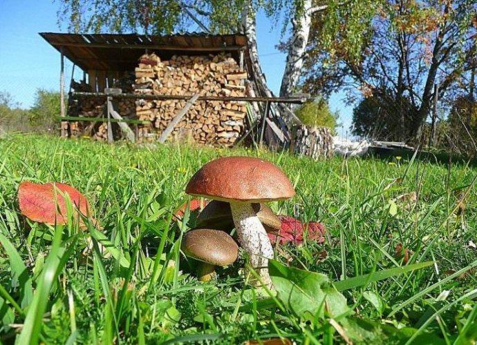 «Как вырастить грибы на садовом участке?» фото - bs gribi doma virachivanie 1 e1506687701681 690x500